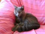 tjs mon bb d'amour - Männlich Shiny Chartreux (4 Jahre)