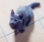 Melody - Shiny Chartreux (3 Monate)