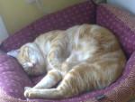 Rousseau - Männlich Shiny Chartreux (4 Jahre)
