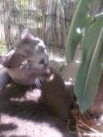 mon chat d'amour - Männlich Shiny Chartreux (4 Jahre)