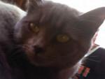 Fufu - Shiny Chartreux (1 Jahr)