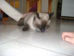 Pachat mange une croquette - Männlich Shiny Siamkatze (1 Jahr)