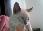 benjamin - Männlich Shiny Siamkatze (3 Monate)