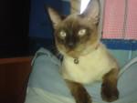 Lipin - Männlich Shiny Siamkatze (9 Monate)