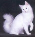 seletia654 - Shiny Türkisch Angora (6 Monate)