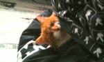 Caramel - Männlich Shiny Türkisch Angora (8 Monate)