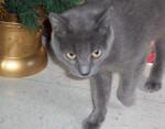 Stubby - Russisch Blau (4 Jahre)