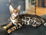 Osiris - Männlich Bengal (4 Monate)