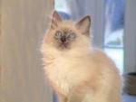 Ulysse en beaute - Birma-Katze
