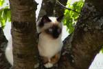 Ti loup sur son arbre - Birma-Katze