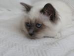 Ne me dérangez pas - Birma-Katze