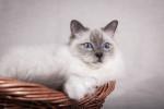 Birma-Katze Bild