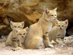 Le Chat des Sables -