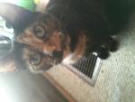 Katze Pepper -  Weiblich (2 Jahre)