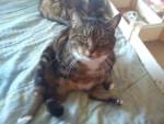 Katze Choupette -  Weiblich (11 Jahre)