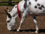 Esel Donkey - Männlich (Kürzlich geboren )