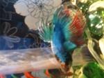 Pickle - Männlich Fisch (1 Jahr)
