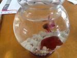 Fisch William - Männlich (3 Monate)