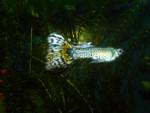 Guppy - Männlich Fisch (8 Monate)