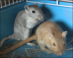 Grisouille et Pikachu - Maus (1 Jahr)