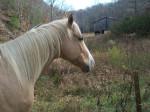 Nugget - Männlich Pferd (11 Jahre)