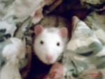 gold20 - Ratte