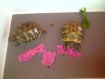 Doris und Berta - Schildkröte (1 Monat)