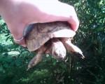Cash - Männlich Schildkröte