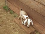 Piebald - Ziege (1 Monat)